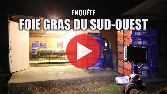 Le supplice du gavage dans la production de foie gras